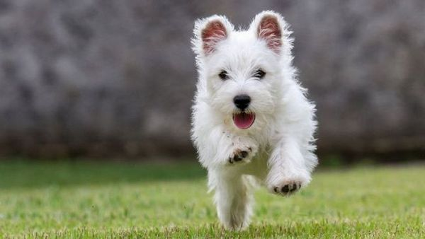 West Highland-alb-Terrier