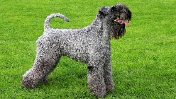 Kerry-Blue Terrier