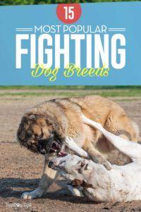 15 Cele mai populare rase de câini de luptă