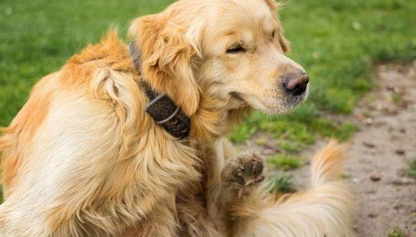 cel mai bun tratament pentru purici și căpușe pentru câini
