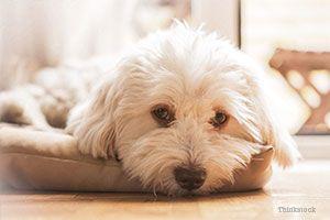 Malteză în pat de câine