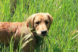 Câine în iarbă înaltă