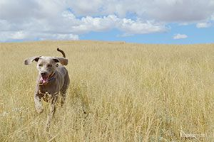 Câine care trece prin câmp