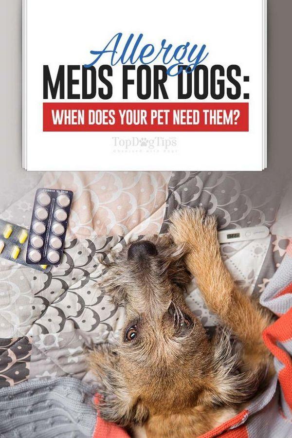 Medicamente anti alergice pentru câini: când are nevoie câinele dvs.?