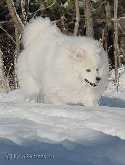 Eskimo spitz american