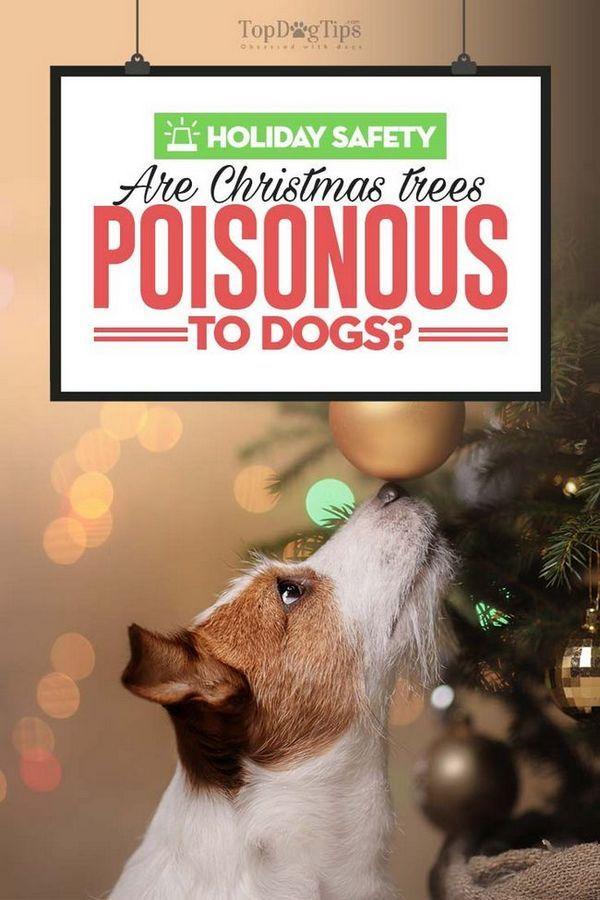 Copacii de Crăciun sunt otrăviți pentru câini?