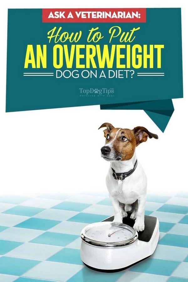 Adresați-vă unui veterinar: cum să puneți un câine supraponderal pe o dietă?