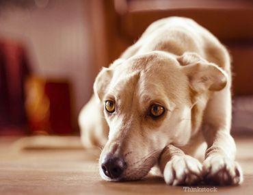 Cistita bacteriană la câini