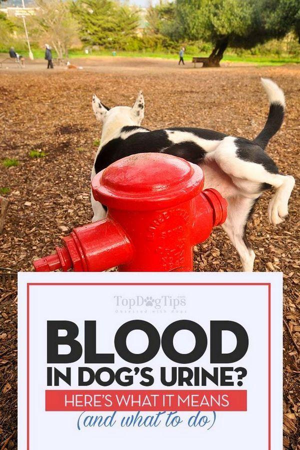 Sânge în urină de câine (hematurie): ce înseamnă și ce ar trebui să faceți