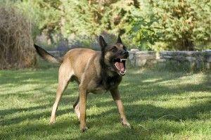câine periculos
