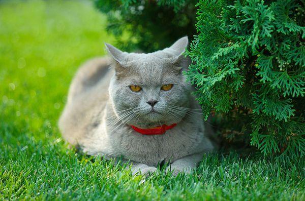 Sanatatea pisicii: ce este toxoplasmoza?
