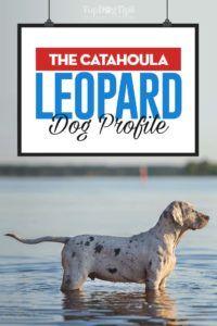 Catahoula Leopard Dog Profile