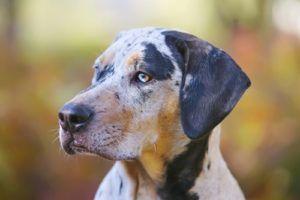 Catahoula Leopard Informații privind rasa câinilor