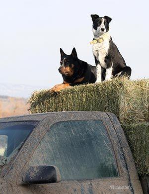 Doi câini stau pe fân