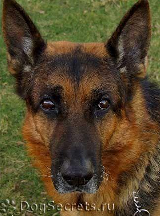 Boli ale câinilor de ciobanesc german