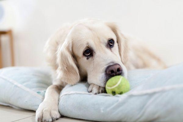 limbajul corpului câinelui de la un laborator alb cu minge de tenis verde