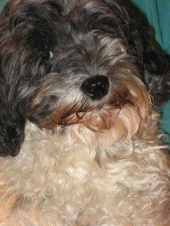 câine grooming în Austin