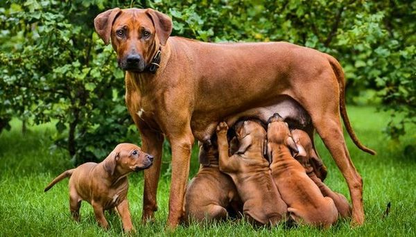 Cât durează câinii să rămână gravide