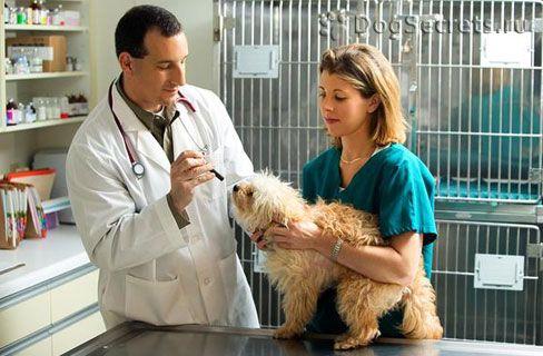 Ce să faceți dacă câinele are febră