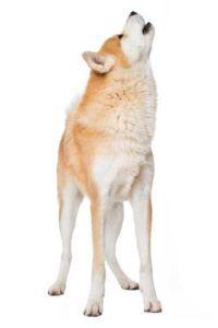 De ce câinii urlă