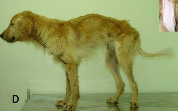 Distrofia musculară a diaconului la câini poate fi în cele din urmă tratată