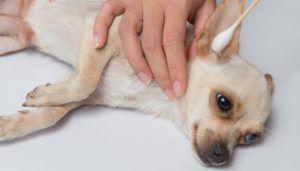 Simptomele comune ale acarienilor la câini