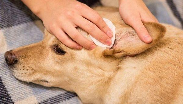 Acasă Tratamente pentru acarienii urechii la câini