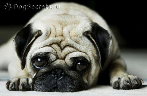 Tratamentul encefalitei la câini