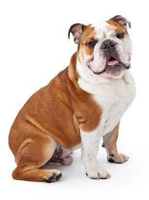 Profilul de rasă bulldog engleză