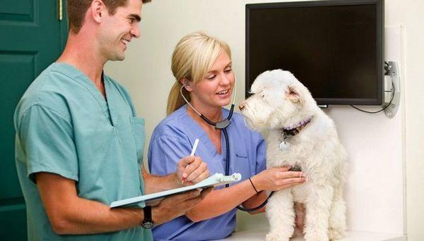 Inima mărită la câini (cardiomiopatie dilatativă)