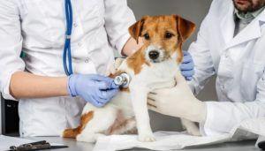 Prevenirea inimii lărgite la câini