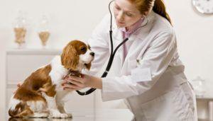 Tratament veterinar pentru inima mărită la câini