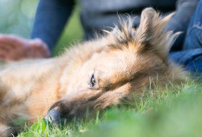 câine în iarba de toamna este în pericol pentru căpușe