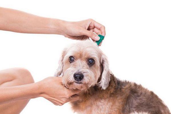 cum să eliminați căpușă de câine