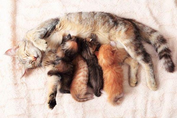 Feline sarcinii: cum să aibă grijă de o pisică gravidă