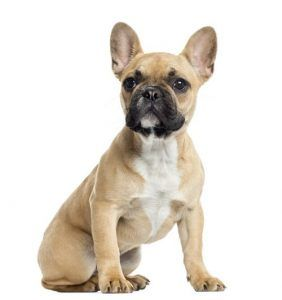 Profilul rasei bulldogului francez