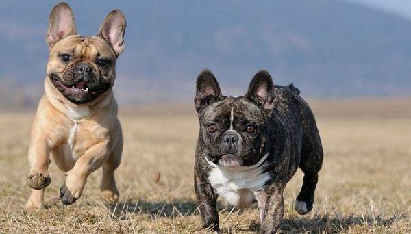Profilul breedului bulldog francez