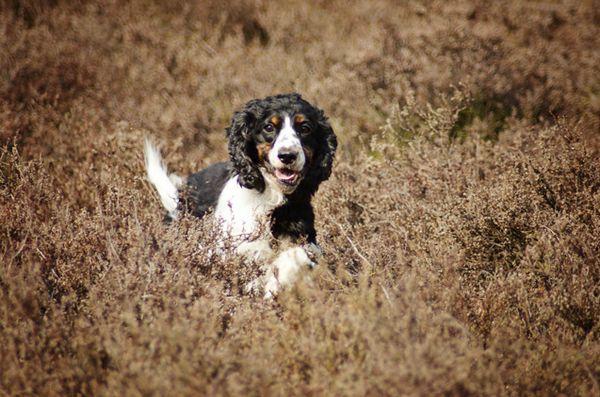 Terapia genică promițătoare pentru tratamentul bolilor neuromusculare la câini și la oameni