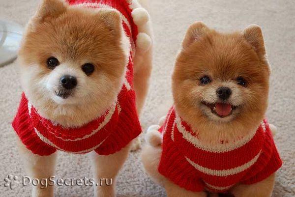 Tipuri de tunsori Spitz Pomeranian fotografie