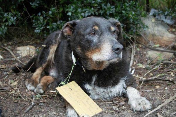 Câine vârstnic eroic a mers în misiune secretă pentru a salva vecinii