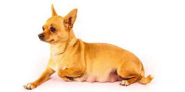 cât durează sarcina de câine
