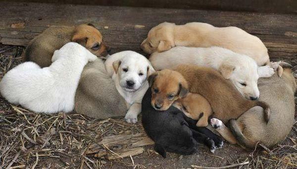 câini gestante câine catelus