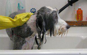 Cum profesioniștii de animale de companie Groom Dogs
