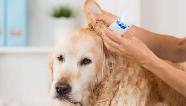 Homemade Cleaner pentru urechi de câine pentru animale de companie