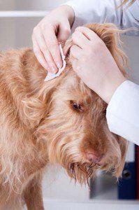 Cum să cureți urechile câinilor acasă