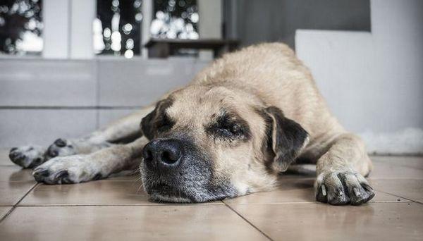 Cum să recunoașteți disfuncțiile cognitive la câini și ce puteți face pentru a le ajuta
