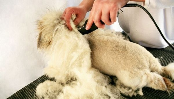 Cum să utilizați Clippers Dog pentru a tăia păr Dog