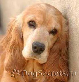 Cauzele bolilor infecțioase la câini