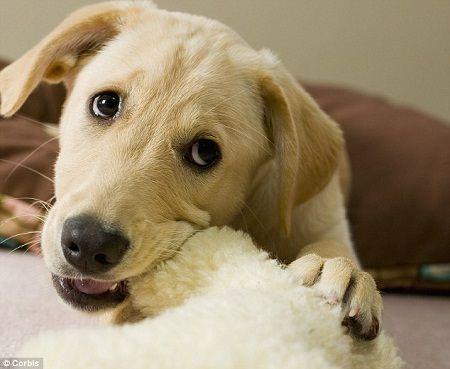 Învățarea câinelui prin condiționarea clasică