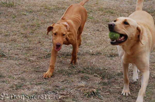 Cum să tratați leishmanioza la câini